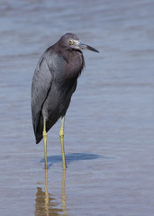 Little Blue Heron (Egretta caerulea) standing in shallow water while fishing at Fort Desoto Park near St. Pete Beach, Florida.