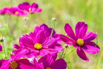 Smmer green field with pink fresh cosmos flowers