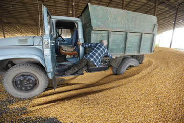 A driver gets out of a cabin to unload the truck at a warehouse during corn harvesting near the village of Moskovskoye