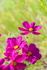 Smmer meadow with pink fresh cosmos flowers