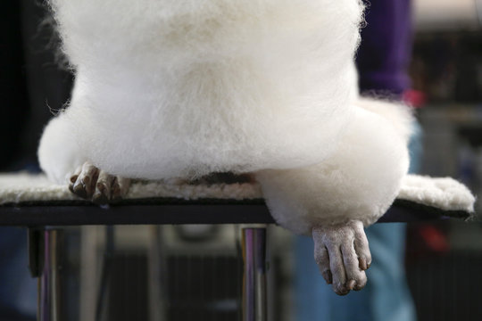 The paw of a Standard Poodle is seen as it takes a nap in the penning area at the 2014 Westminster Kennel Club Dog Show in New York