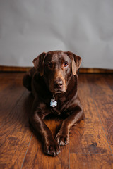 Adult Chocolate Lab Studio Portraits