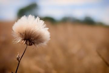 Thistle Cotton flower head in summer