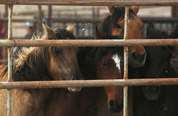 Wild horses stand in a corral as the Bureau of Land Management (BLM) gathers the horses south of Garrison, Utah