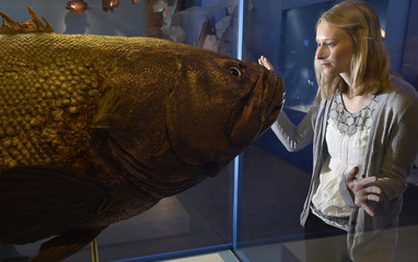 Museum employee Victoria views a giant grouper fish specimen at the Natural History Museum in west London