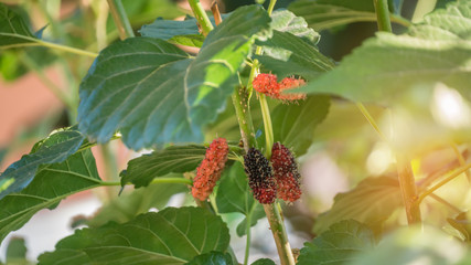 ripe mulberries fruits