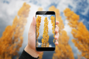 Man taking picture of yellow poplar in autumn, with phone