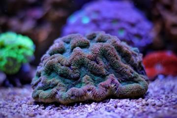 Lobophyllia LPS coral