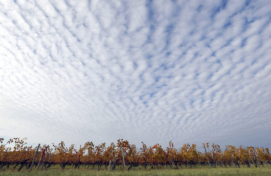 Clouds fill the sky above yellow and orange colored leaves in the vineyards which produce grapes for Puisseguin-Saint Emilion wine as fair autumn weather continues in Puisseguin