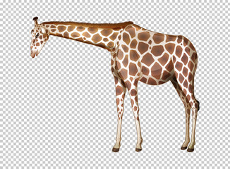 Wild giraffe on transparent background