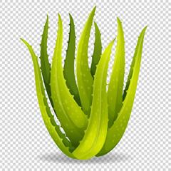Aloe vera on transparent background