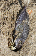 Crab moves dead fish towards hole at a sand beach in the port city of Sidon