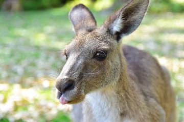 Poster de jardin Kangaroo Kangarros in wild nature