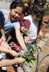 Students at Munroe Elementary School clean spinach leaves in the school garden in Denver