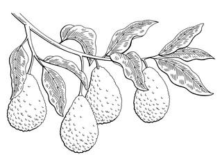 Avocado fruit graphic branch black white isolated sketch illustration vector