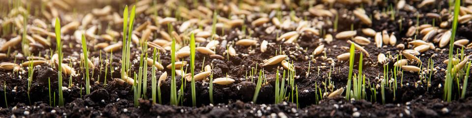Fototapeta Konzept Säen, Saat und Samen, Keimlinge wachsen auf Erde