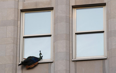 A peacock that escaped from New York City's Central Park Zoo sits perched on a fifth floor window sill in New York