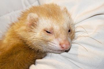 Ferret beige cute pet ferret.