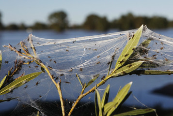 Wild plants are covered in spiderwebs, formed as spiders escape from flood waters, in Wagga Wagga