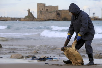 A worker removes a dead sea turtle that was washed up on the beach in the port city of Sidon