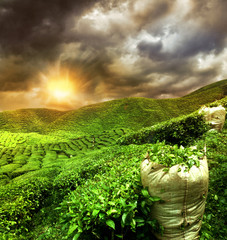 Wall Mural - beautiful tea plantation sunset