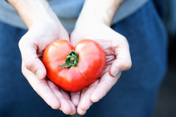 Heart in hands. Tomato in the shape of a heart. Healthy food.