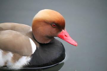 Un canard appelé Nette rousse