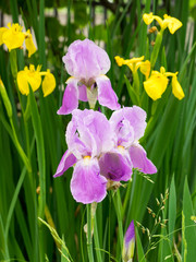 Violet and yellow iris flowers, on a rainy day