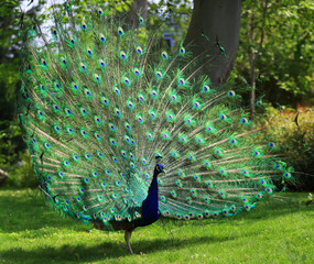 Colorful peacock with huge open tail