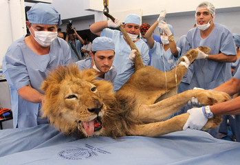 Male lion Tyson receives dental treatment at a veterinary clinic in Medellin
