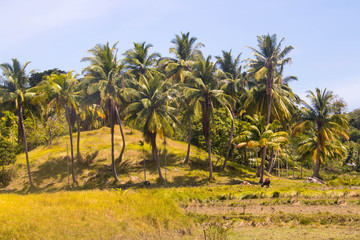 coconut trees or groves