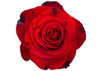 Rose white background