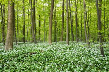 Herrlicher Buchenwald mit Bärlauch in voller Blüte