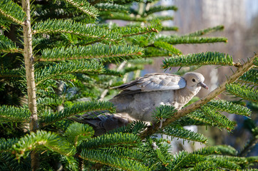 Pair of yuong turtledoves sitting on a tree.