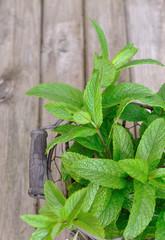 feuilles de menthe fraîche dans panier métal sur fond en bois