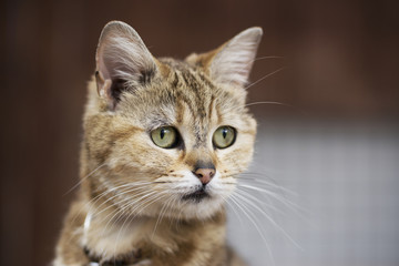 猫(マンチカン)