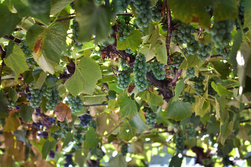Green grapes in a home vine