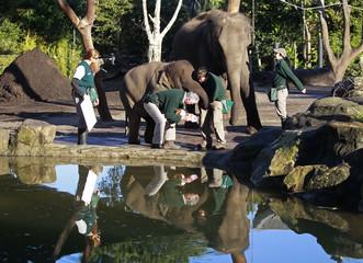 Elephant keeper takes the footprint of elephant Pak Boon at Taronga Zoo in Sydney