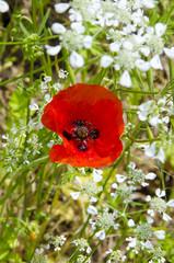 Red Poppy of Tuscany