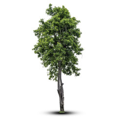 Tree isolated on a white background. with clipping path.