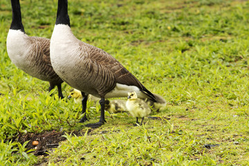 Baby geese with mom and dad