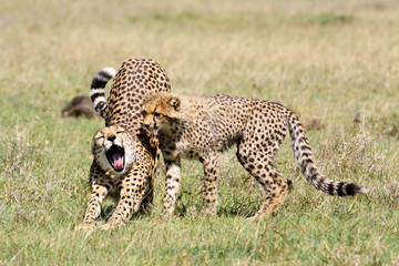 Cheetah stretching and yawning with cub