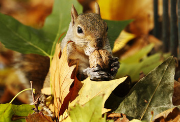 A squirrel eats a nut among a pile of autumn leaves at St James's Park in London