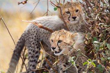 Cheetah cubs in a bush
