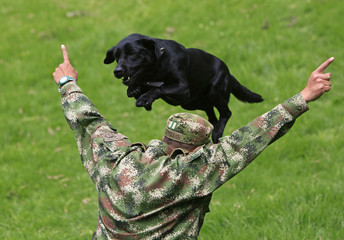Lucky, a black Labrador, jumps over his trainer during an exercise at the army's School of Canine in Bogota