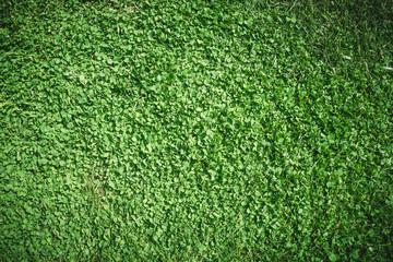 Зелёный весенний сад. Заросли клевера