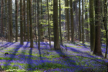 """Wild bluebells, which bloom around mid-April, turning the forest completely blue, form a carpet in the Hallerbos, also known as the """"Blue Forest"""", near the Belgian city of Halle"""