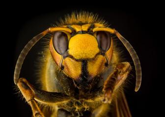 Portrait of European hornet (Vespa) on black background