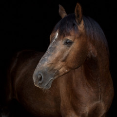 A portrait of a gray horse on black background.