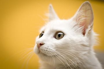 Retrato de um gato branco observando.